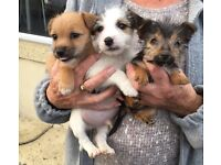 3 loving jack Russell puppy's