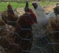 Selling chicken flock