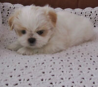 Shih tzu puppies soon ready for forever homes. ONE MALE LEFT!