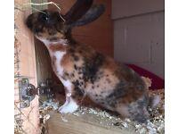 Gorgeous Mini Rex Rabbit