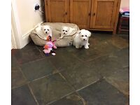 Bichon Frise pups for sale! 8 weeks old!