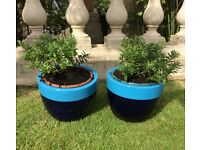Two Hebes in blue planters