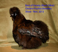 Black Silkie chicks from Show Stock