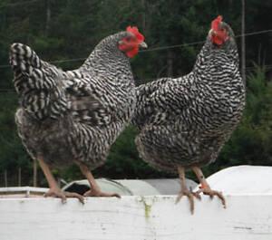 Barred Rocks chicks for sale