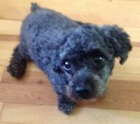 SEVEN YEAR OLD TOY POODLE NEEDS A LOVING HOME