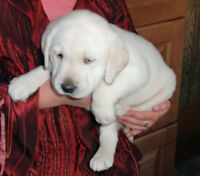 CKC REGISTERED LABRADOR YELLOW MALE PUPPIES LAB