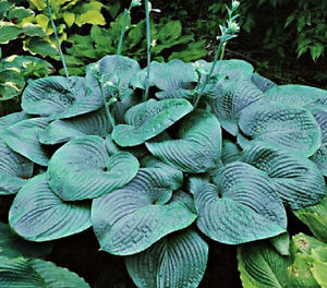 HOSTA HUMPBACK WHALE [NEW] GIANT STARTER PLANT BARE ROOT READY NOW