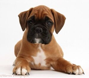 LOOKING FOR MALE BOXER PUPPY