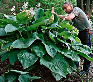 HOSTA  EMPRESS  WU GIANT PLANT  BUY ANY 5 HOSTAS GET ONE FREE READY NOW