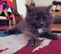 2 gorgeous Persian Kittens looking for their new forever home.