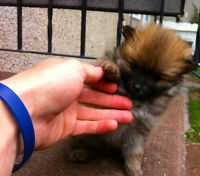 Five Beautiful Pure Pomeranian Puppies
