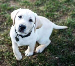 Dogs with Wings Puppy Raiser Needed!