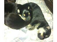 German Rottweiler Shepherd Puppies for sale