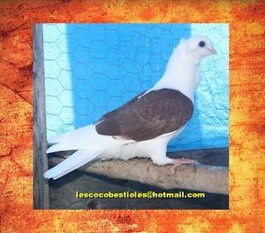 Pigeon de fantaisie comme animal de compagnie