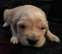 Golden Retriever Puppies For Sale! All Puppies Are Now Sold :)