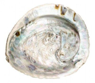 NaDeco® Haliotis midae ca. 11-13cm | Abalone Schnecke | Abalone Muschel | Seeopa