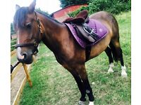 Welsh d mare 14.2 4 years old sad sale