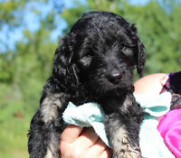Beautiful goldendoodles for sale