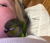 Black Forest Conure