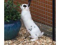 Adult English rabbit
