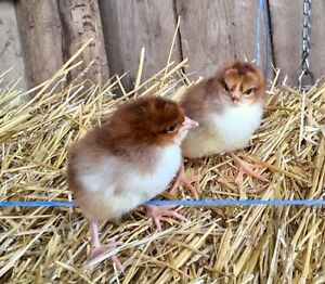 Purebred Speckled Sussex Chicks