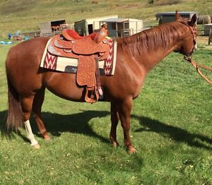 4 Year Solid Paint Gelding