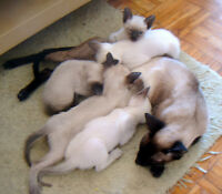 SIAMESE KITTENS CCA REG...READY NOW and LATER/..MORE