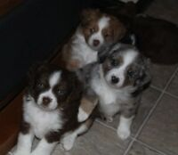 AWESOME Shihzu X Toy Aussie Puppies. ALL SOLD!
