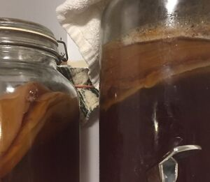 Komboucha Scoby (Brew Your Own!)