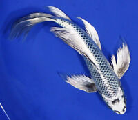 Looking for a blue butterfly koi
