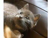 Grey girl kitten