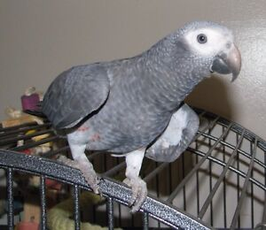 Beautiful African Grey Parrots for Sale!