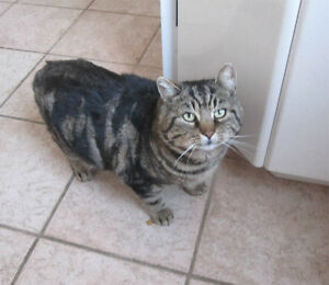 LOST - Large male brown tabby (Pointe Claire)