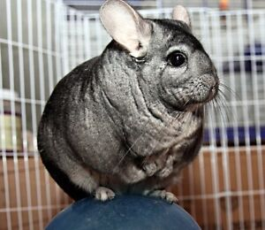 Chinchilla with cage and accessories