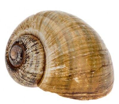 NaDeco® Pomacea insularum ca.8cm   Insel Apfelschnecke   Schnecke Coracol