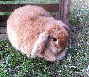 SPAYED Holland Lop