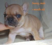CKC Registered QUALITY French Bulldog Puppies