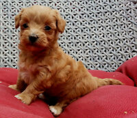 *TOP QUALITY* TINY TOY MALTI-POO PUPPIES