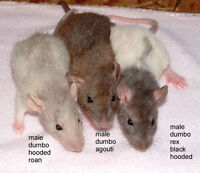 Fancy Baby Rats - Dumbo, Dumbo Rex, Varigated, Roan, Chocolate