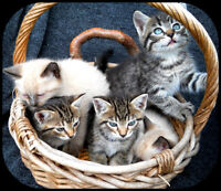 Sealpoint, blue Tabby, Calico and orange Kittens for sale