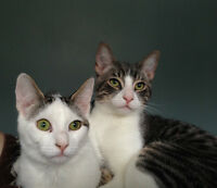 Free to a good home-8 month old Kittens (Brother & Sister)