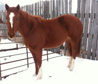 3yr old Registered Qauter Horse Filly