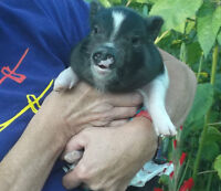 MICRO POT BELLY PIGLETS FOR SALE