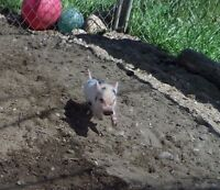 Mini Pet Pigs From A RECOGNIZED and REPUTABLE Breeder