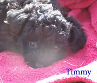 Toy YorkiePoo, Black with a touch of Chocolate - 1 boy left!