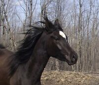 Registered 3yr old horse - $3900, before training