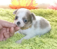 SUBLIME chihuahua  2 POIL LONG  MALE(700$) FEMELLE ( 950$)