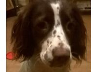 9 month old springer spaniel (spayed) looking for forever home