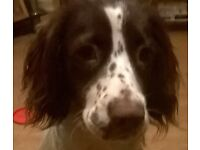 9 month old spayed springer spaniel looking for forever home