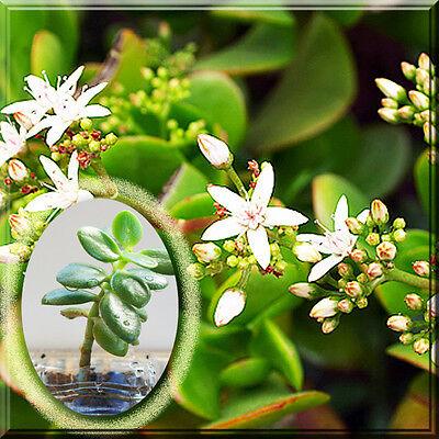 Crassula Ovata Lucky Dollar Jade Succulent Potted 1 2 Plant Money Tree